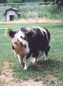 Kune-Kune Schwein