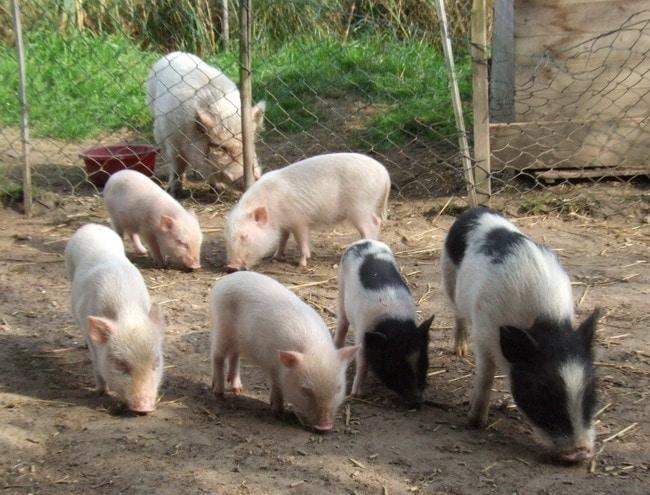 Minischweinfamilie mit Eber im Vordergrund