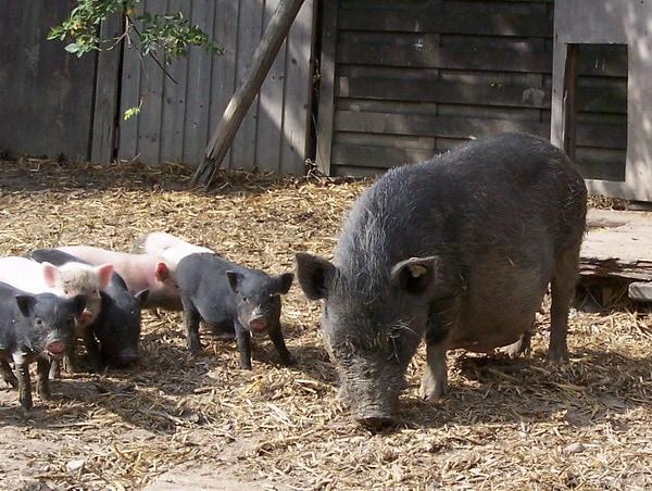 Komplette Minischweinfamilie