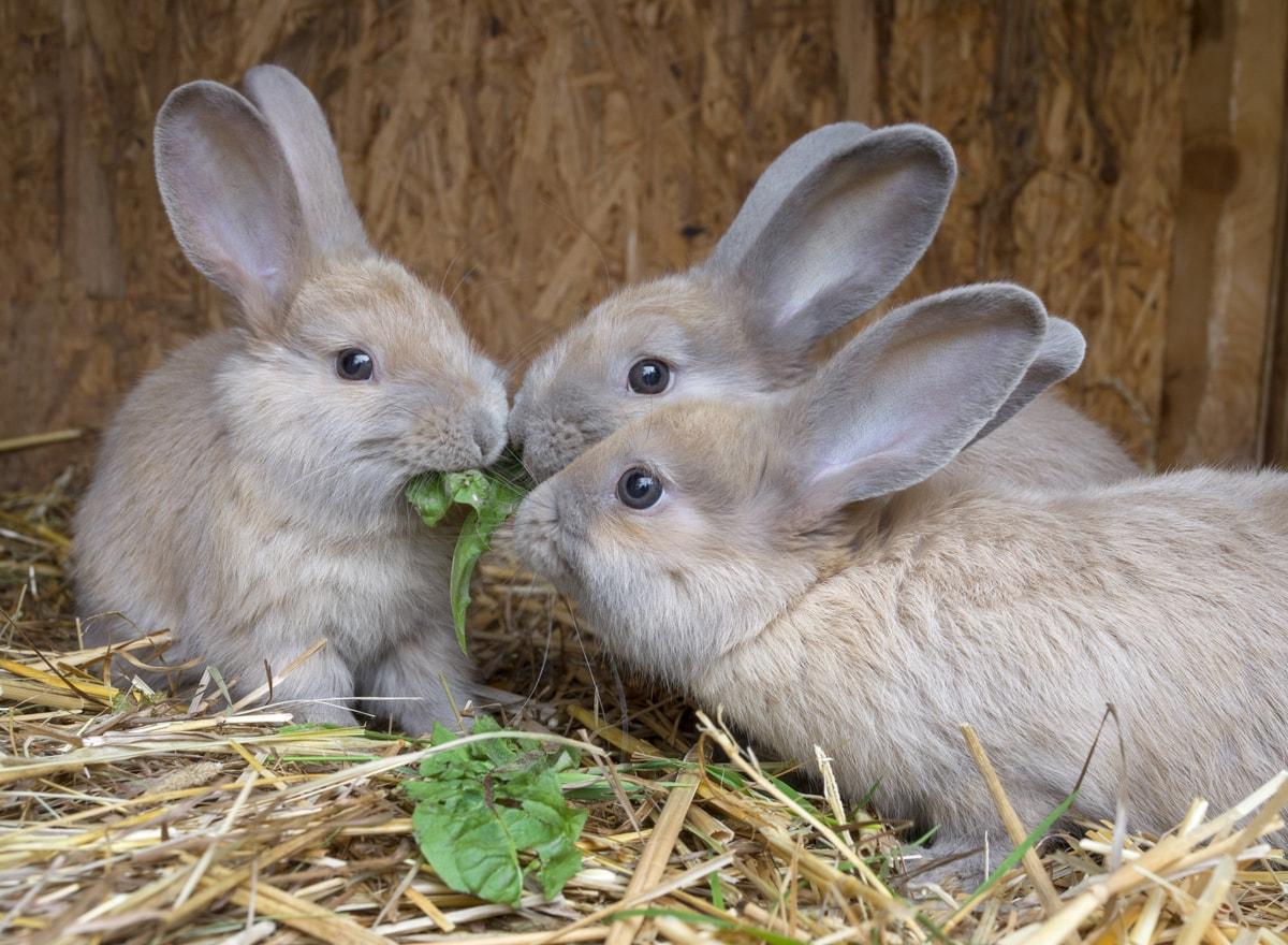 Drei Glückliche Kaninchen im Stall