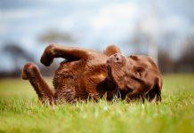 Alter Hund auf Wiese