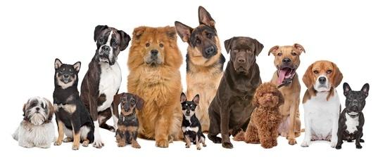 Gruppe von verschiedenen Hunderassen die im Quiz vorkommen