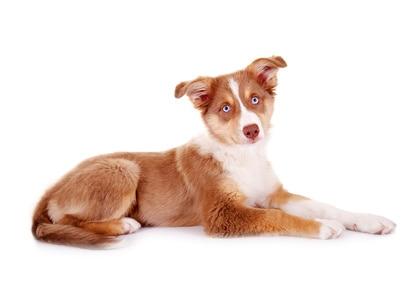 Süßer Hundewelpe mit blauen Augen