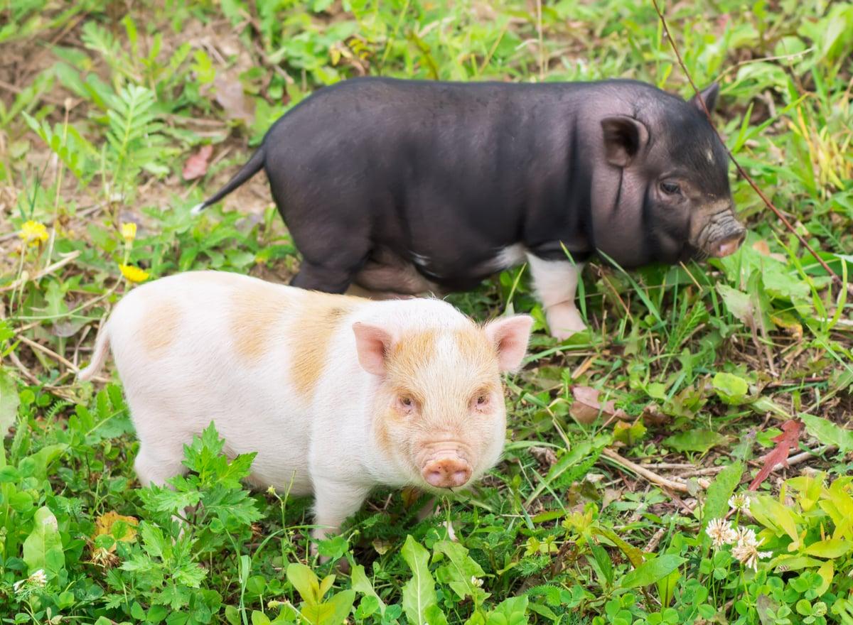 Zwei Minischweine auf der Wiese